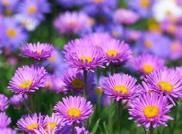 Hoa cúc thạch thảo tím