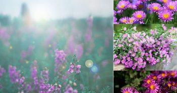 Shop hoa tươi Mrhoa mách bạn ý nghĩa hoa thạch thảo